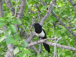 Black-billed magpie. Photo