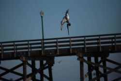 California brown pelican going vertical. Photo