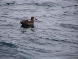 Black-footed albatross. Photo