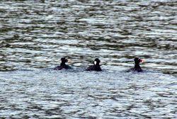 Surf scoters. Photo