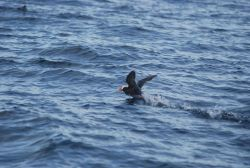 Horned puffin taking off. Photo