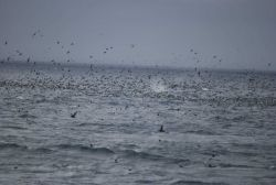 A profusion of sea birds with a blowing whale in the center. Image