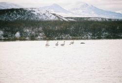 Snow geese in shallow water. Photo