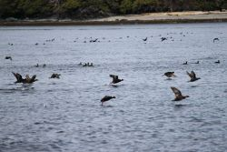 Black guillemots. Photo