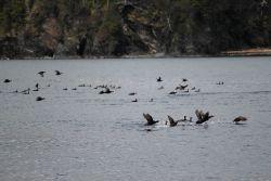 Black guillemots. Photo