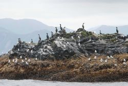 Cormorants and kittiwakes on an offshore rock. Photo