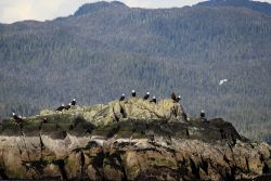 Bald eagles on an offshore rock. Photo