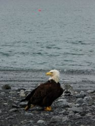 Bald eagle on the beach. Photo