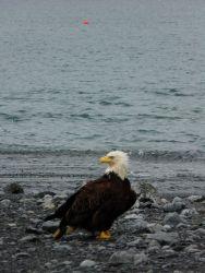 Bald eagle on the beach. Photo