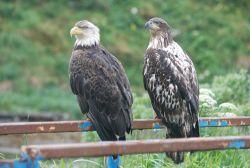Bald eagles on a railing. Photo