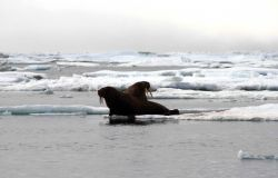 Two walrus on an ice floe. Photo