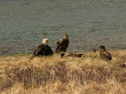 Bald eagles with fledgling. Photo
