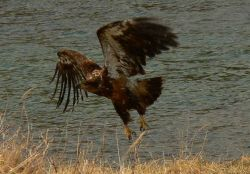 Young bald eagle taking flight. Photo