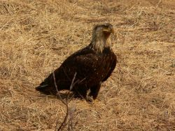 Scruffy looking bald eagle. Photo