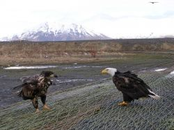 Mature bald eagle and young bald eagle scavenging the left overs on nets left out to dry. Photo