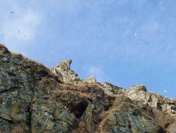 Possibly kittiwakes flying high above the cliffs of Little Diomede Island Photo
