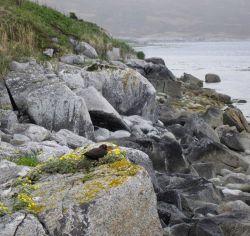 Oystercatcher on rock ledge. Photo