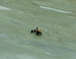 Mother brown bear with three cubs Photo