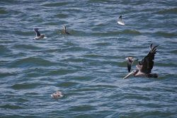 Pelican in flight with smaller marine birds with fish dinners. Photo