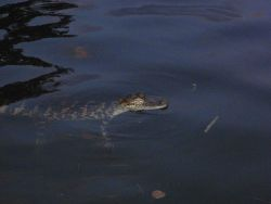 Medium-sized American alligator. Photo