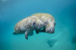 Mother manatee and calf swimming out of the inlet. Photo