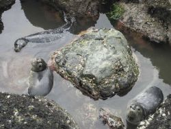 Harbor seal pups hanging out in a tide pool. Photo