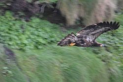 Juvenile bald eagle in flight on the Olympic coast Photo