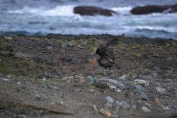 Oystercatcher Photo