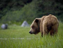 A grumpy looking brown bear. Photo