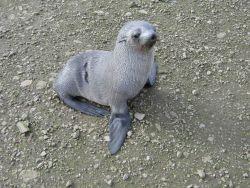 An Antarctic fur seal pup Photo