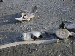 A seal pup snoozing by whale vertebrae and rib bones Image