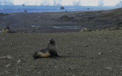 An Antarctic fur seal Photo