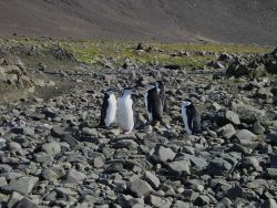 Chinstrap penguins Photo