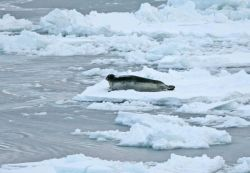 A bearded seal (Erignathus barbatus) on the ice Photo