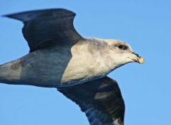 Fulmar (Fulmarus glacialis) Photo