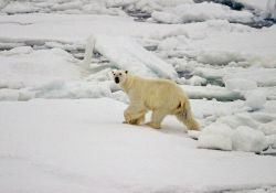 The first polar bear (Ursus maritimus) sighted during NABOS 2006 Photo
