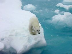 Polar bear (Ursus maritimus) on ice floe. Photo