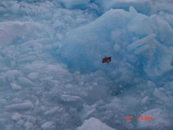 Brash ice with target for scale Photo