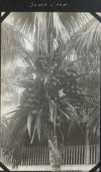 An overactive coconut palm. Image