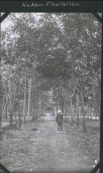 A rubber plantation on Borneo. Image
