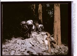Hand-painted blown-up photograph of Cowboy Roy Bixby passing through the redwoods in Palo Colorado Canyon, the furthest south stand of redwoods in Cal Photo