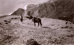 Jack Bachtel leading a mule down from a triangulation station in the Santa Lucia Mountains south of Monterey Photo