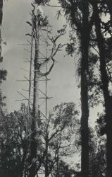 Tree with scaffolding used for signal and observing stand on Philippine island. Photo