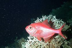 Beryx decadactylus (alfonsino) hovering around a large Lophelia coral Photo