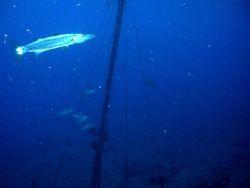 Barracuda cruising near rigging of sunken vessel. Photo