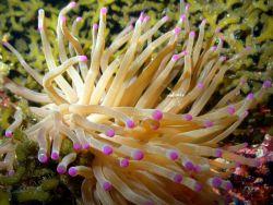 Condylactis gigantea, the Giant Anemone Photo