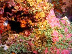 The grape-like green algae Caulerpa racemosa dominates the bottom half of this image Photo