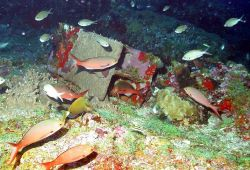 A steel i-beam discarded on Bright Bank with numerous fish species swimming about. Photo
