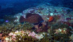 The marbled grouper (Epinephelus inermis) Photo