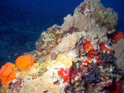 Millepora outcropping. Photo